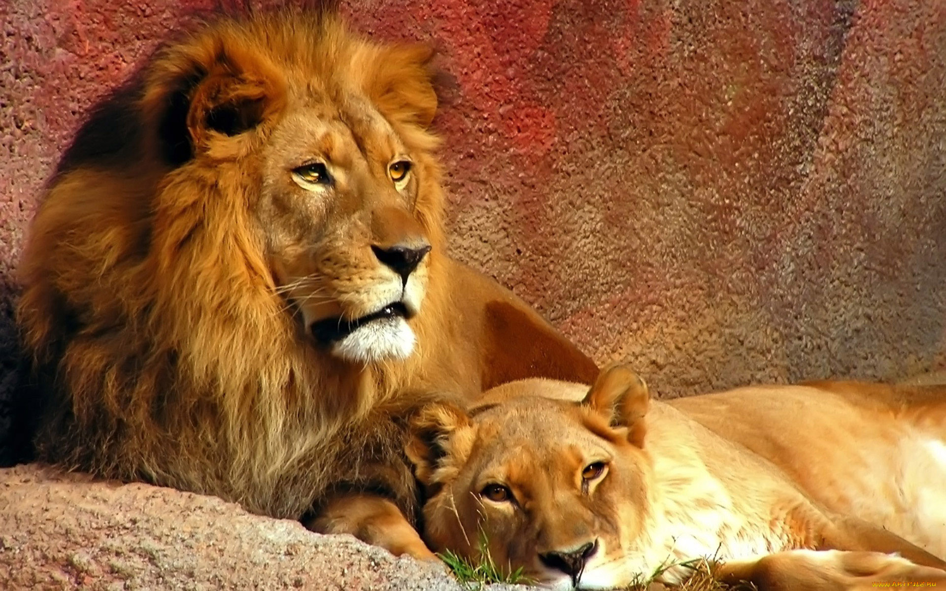 оценили фото львов на рабочий стол было